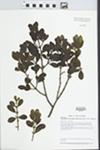 Phoradendron leucarpum (Raf.) Reveal & M.C. Johnston by Loy R. Phillippe and Mary Ann Feist