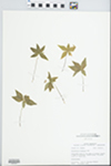 Trientalis borealis Raf. by John E. Ebinger