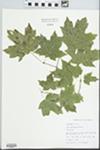 Acer saccharum Marshall by John E. Ebinger
