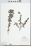 Comptonia peregrina (L.) J.M. Coult.