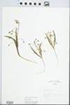 Claytonia virginica L. by L. Horton
