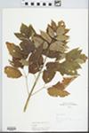 Acer negundo L. by L. Horton