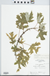 Acer saccharinum L. by C. Loos