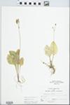 Dodecatheon frenchii (Vasey) Rydb.