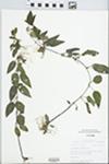 Lysimachia radicans Hook.