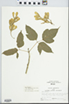 Acer negundo L. by Larry Dennis