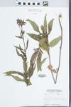 Verbena hastata L.