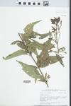 Verbena hastata L. by John E. Ebinger