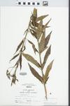 Verbena hastata L. by Robert Holeman