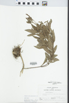 Verbena hastata L. by Loy R. Phillippe