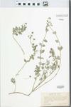 Lipochaeta integrifolia (Nutt.) A. Gray