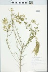 Lippia lycioides Steud. by Jorge S. Marroquin de la Fuente and Fred A. Barkley