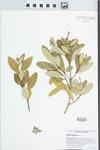 Avicennia germinans (L.) Stearn