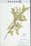 Avicennia germinans (L.) Stearn by R. Dale Thomas