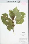 Callicarpa americana Lour. by John E. Ebinger