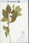 Callicarpa americana Lour.
