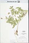 Verbena canadensis Britton