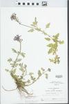 Glandularia canadensis (L.) Nutt.