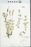 Verbena bipinnatifida Nutt. by Loy R. Phillipe