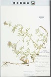 Verbena bipinnatifida Nutt. by H. C. Fritts