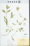 Phyla lanceolata (Michx.) Greene by Bart Moore