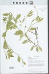 Phyla lanceolata (Michx.) Greene by Loy R. Phillipe, Connie Carroll, and Brenda Molano-Flores