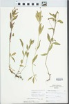 Phyla lanceolata (Michx.) Greene