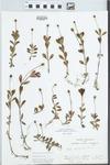Phyla nodiflora (L.) Greene