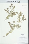 Verbena bracteata Lag. & Rodr. by John E. Ebinger