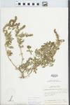 Verbena bracteata Lag. & Rodr. by William M. Bailey and Julius R. Swayne