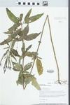 Verbena hastata L. by Loy R. Phillipe