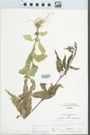 Verbena hastata L. by Larry Dennis