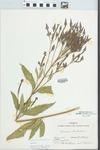 Verbena hastata L. by Ernest L. Stover