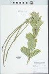 Verbena stricta Vent. by William McClain