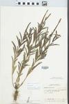 Verbena simplex Lehm. by William M. Bailey and Julius R. Swayne