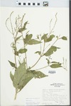 Verbena urticifolia L. by Phipps and Speer