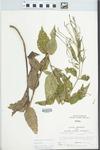 Verbena urticifolia L. by Larry Dennis