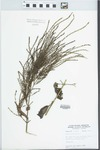 Verbena urticifolia L. by W. E. McClain