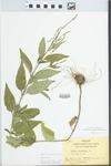 Verbena urticifolia L. by Bart Moore
