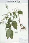 Verbena urticifolia L.