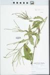 Verbena urticifolia L. by William E. McClain