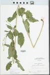 Verbena urticifolia L. by John E. Ebinger