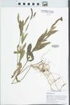 Verbena bonariensis L.
