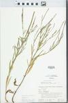 Verbena simplex Lehm. by H. M. Parker