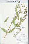 Verbena bonariensis L. by R. Dale Thomas