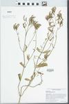 Verbena brasiliensis Vell.