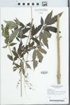 Vitex agnus-castus L.