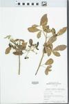 Vitex mollis H.B. & K. by D. Seigler, John E. Ebinger, and H. Clarke