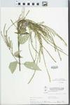 Verbena urticifolia L. by W. Pichon and H. Parker