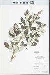 Vitex trifolia L. by S. H. Sohmer